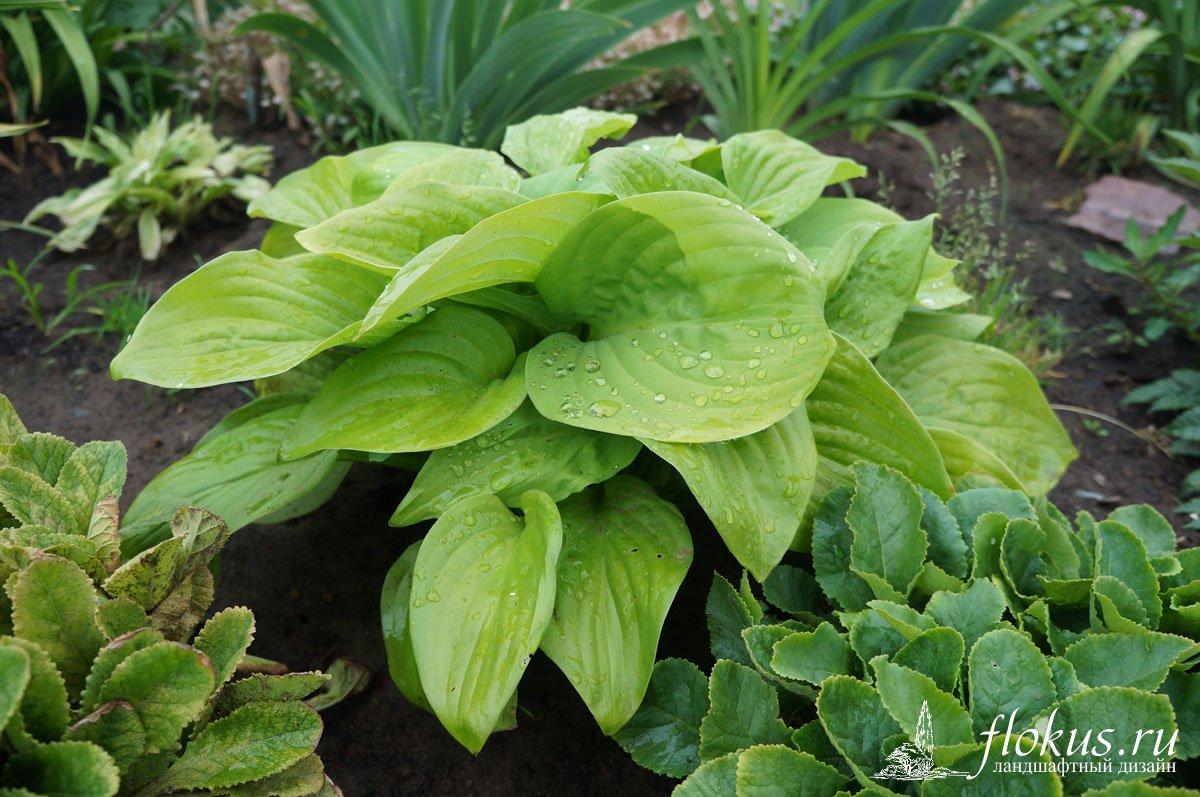 растение хоста фото