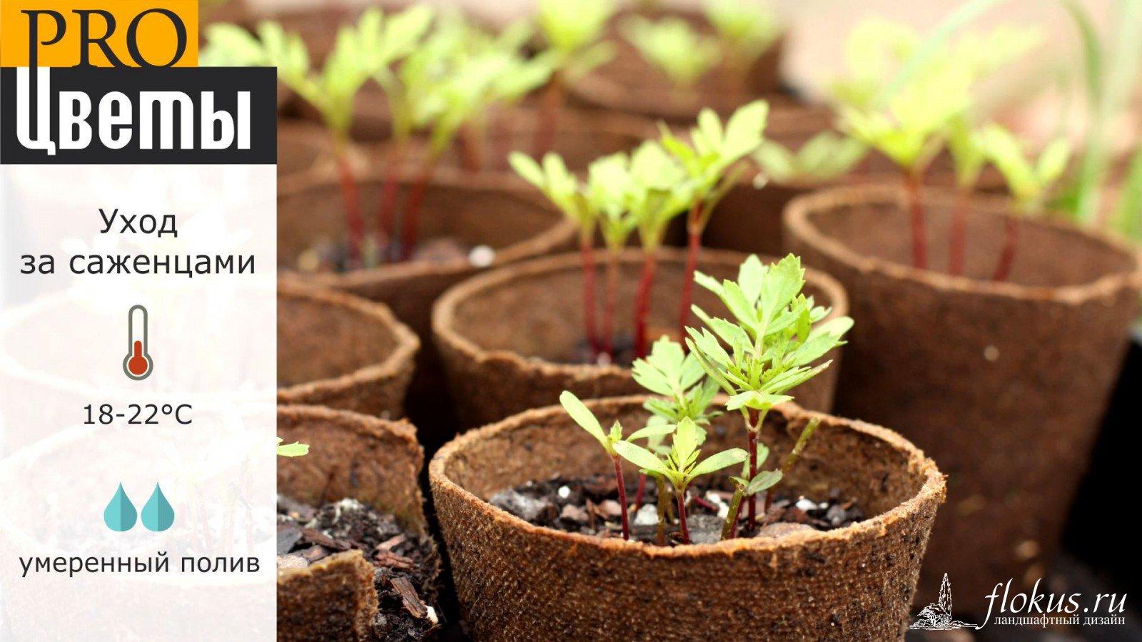 Когда высаживать на рассаду семена бархатцев 31