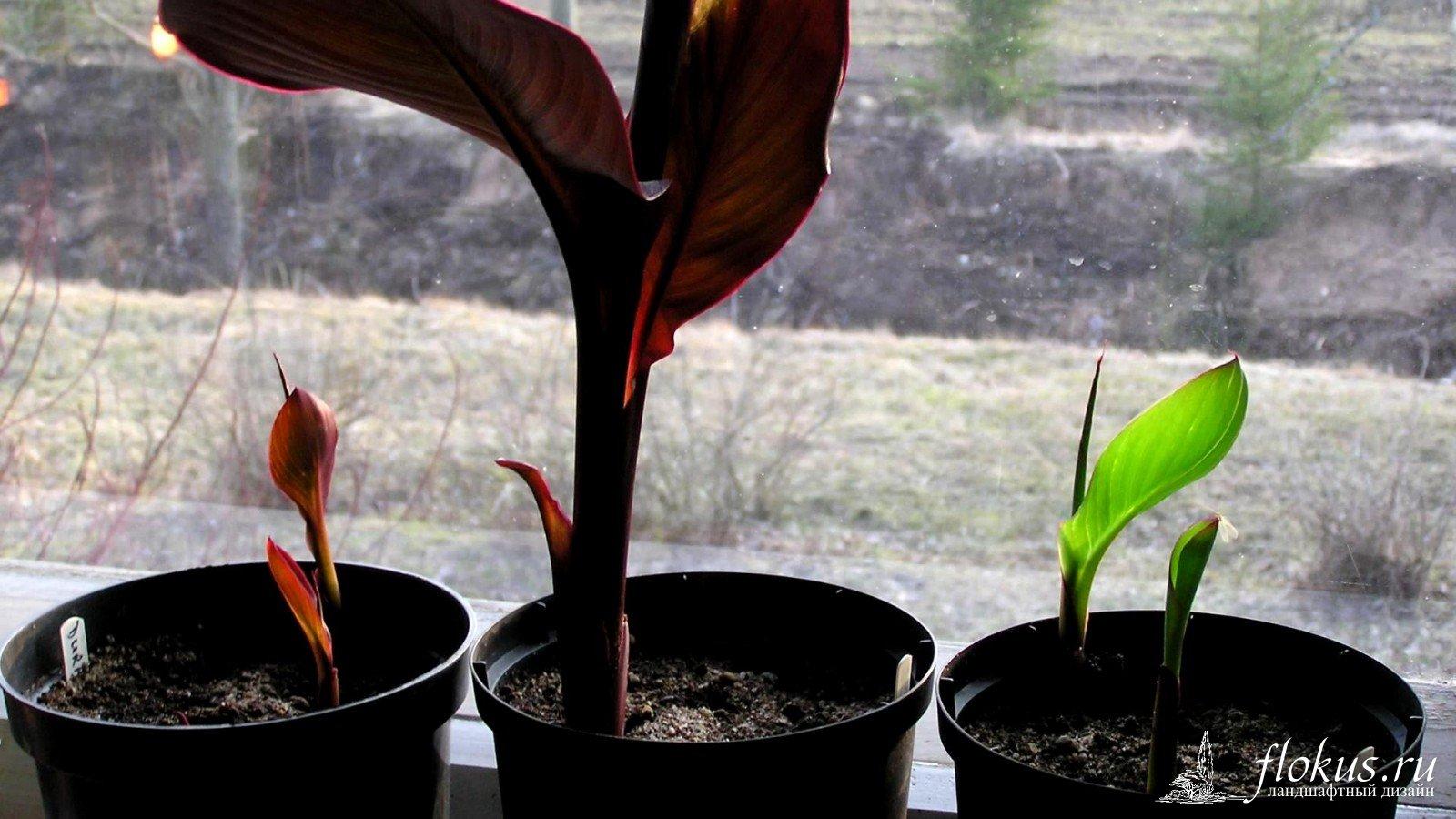 Как выращивать канну в домашних условиях