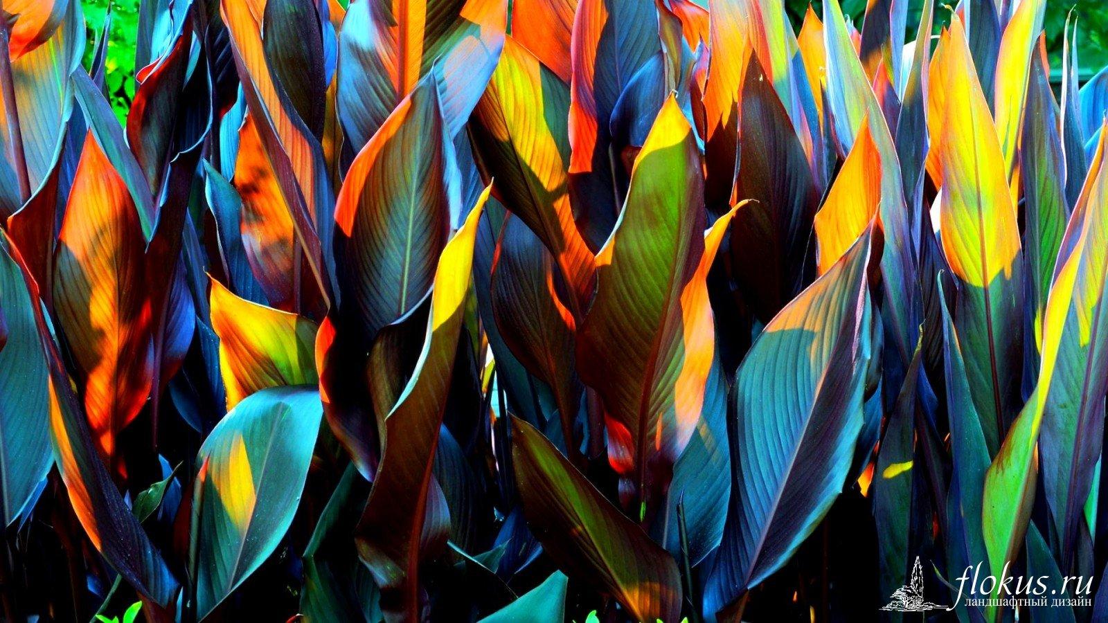 Клубни канн цветы