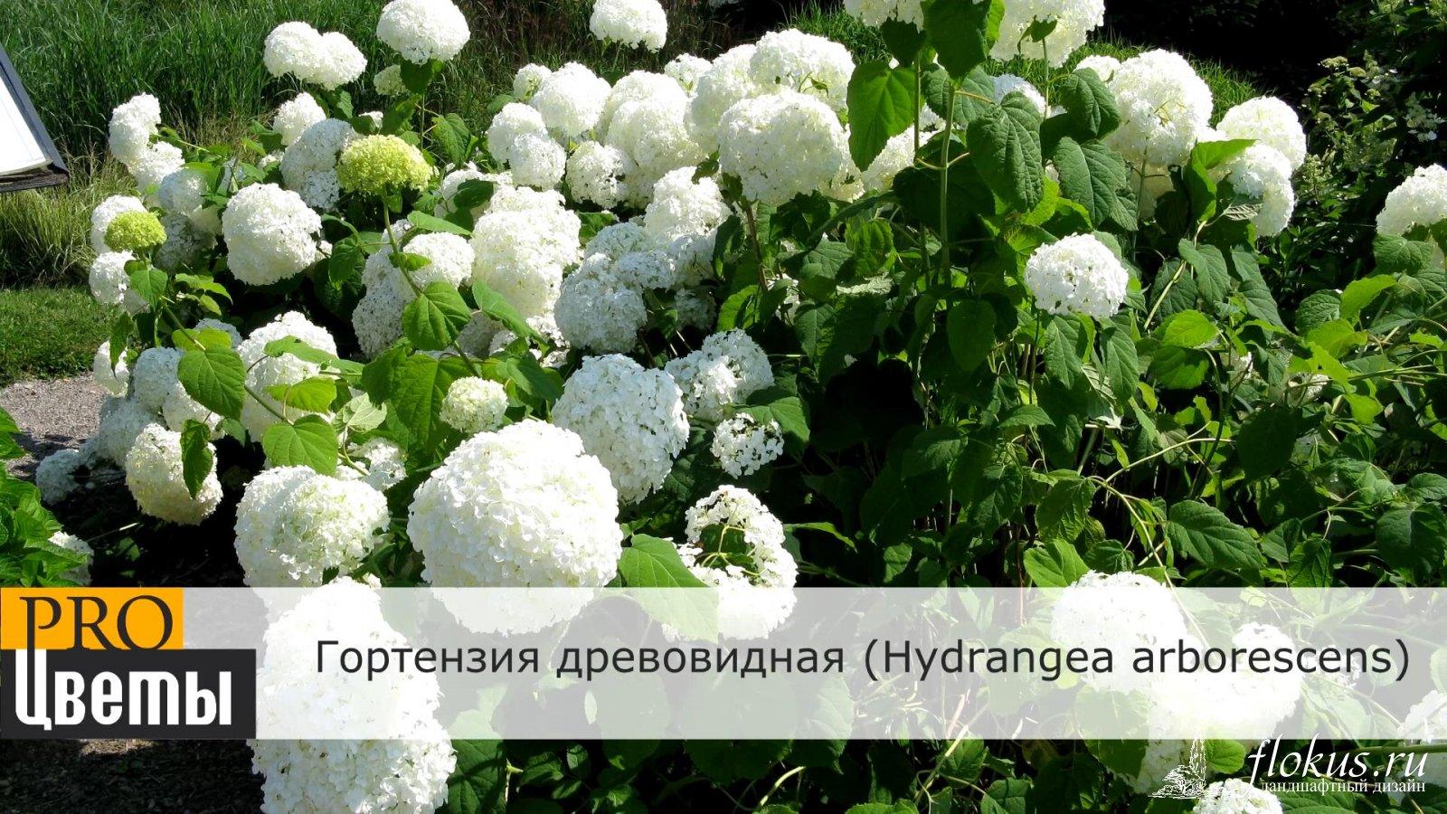 gortenziya-buket-roz-posadka-i-uhod-tsvetov-mitishinskiy